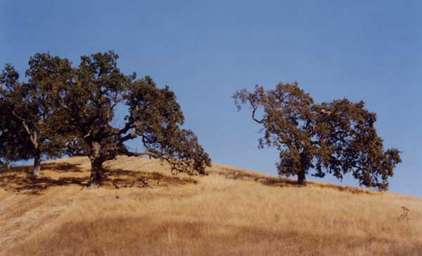 open grown oaks in a savanna on mount diablo state park california pographed in october just at the end of the dry season